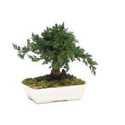 BONSAI JUNIPERUS PROCUMBENS