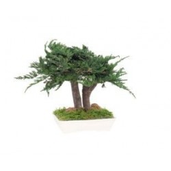 BONSAI JUNIPERUS PRINCE OF WALES